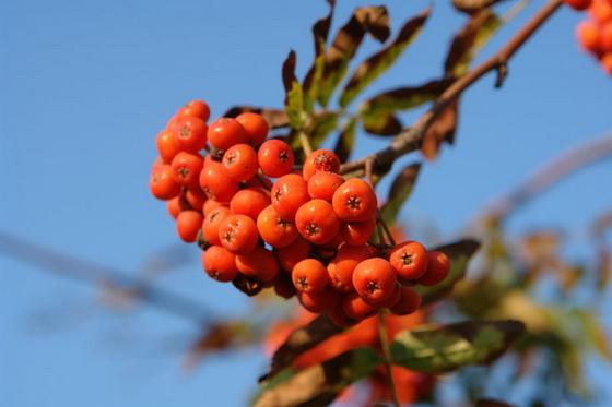 Lechebnye svojstva plodov ryabiny pri pohudenii